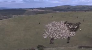 chasejarvis_sheep art