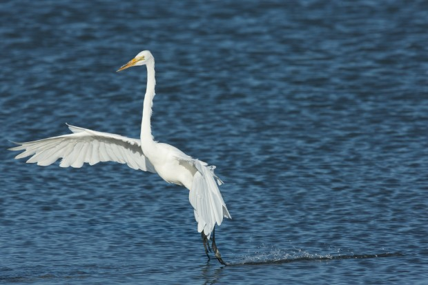 Great Egret touchdown. Shot with a 1Dx and a Canon 600mm f/4 II